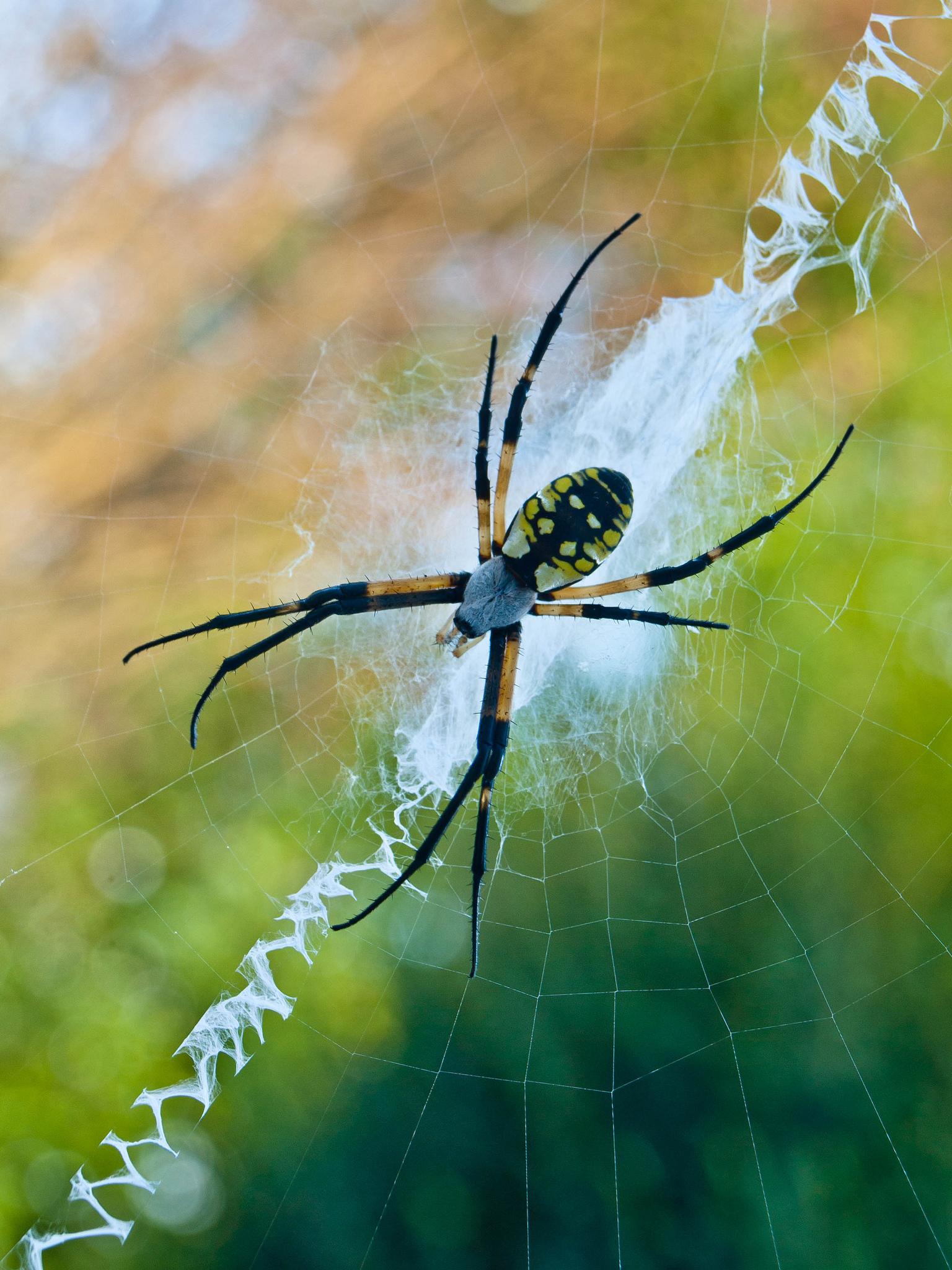 Miss Lady spider