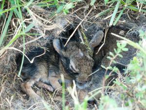 Rabbit Multiplication